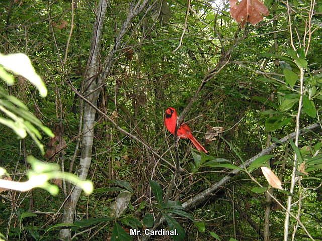 Cardinal at Boy Scout Woods Sanctuary