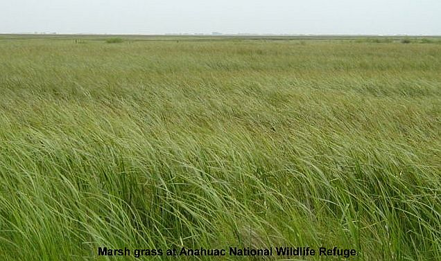 Marsh grass at Anahuac National Wildlife Refuge