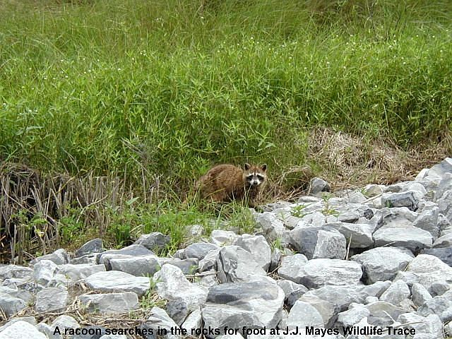 Racoon at J.J. Mayes Wildlife Trace